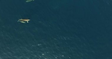 Aerial scene of wild dolphins in the sea. — Stock Video
