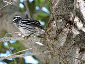 Ruffled Feathers - Black and White Warbler — Stock Photo
