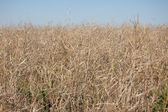Dry grass. Field and blue sky — Stockfoto