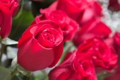Red roses close up. Background. — Stock Photo
