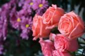 Pink roses close up. Background. — Stock Photo