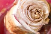 Getrocknete Rosen mit Hintergrund-closeup — Stockfoto