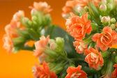 Flowers of Kalanchoe. on a orange background. — Stock Photo