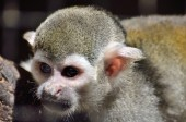 Clever monkey close up — Stock Photo