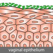 Vaginal Epithelium — Stock Vector