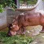 Hippopotamuses in water — Stock Photo #57351499