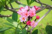 Plumeria flower or Frangipani in the garden — Stock Photo