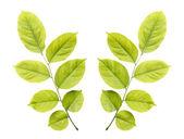 Tree leaf isolated on white on white background — Stock Photo