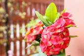 Close up pink Euphorbia Milii — Stock Photo