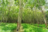 Rubber tree — Foto de Stock