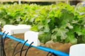 Fresh green lettuce in organic farm — Stock Photo