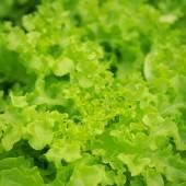 Fresh green lettuce in organic farm — 图库照片
