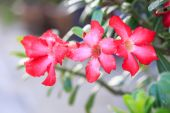 Pink Desert Rose or Impala Lily or Mock Azalea flower — Stock Photo
