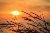 Flor de grama nos raios do pôr do sol — Fotografia Stock