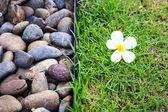 Plumeria flower or Frangipani on green grass — Zdjęcie stockowe