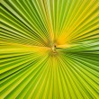 Texture of green palm leaf background — Stock Photo #59933557