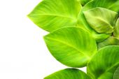 Green leaf on white background — Stock Photo