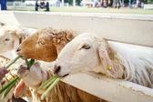 羊养殖 — 图库照片