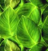 Green Ivy — Stock Photo