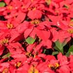 Poinsettia plants — Stock Photo #62236957