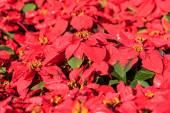 Poinsettia plants — Stock Photo