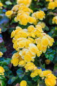 Azalea flower — Stock Photo