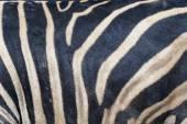 Cebra — Foto de Stock