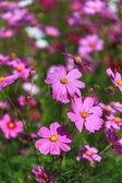 Pink Cosmos flowers — Stock Photo