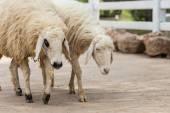 Cute Sheep in farm — Stock Photo