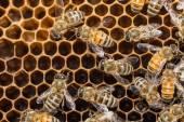 Api selvatiche su honeycells — Foto Stock