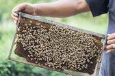 Hands holding honeycomb — Stock Photo