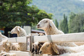 Sheep on farm at Ratchaburi — Stock Photo