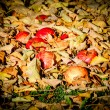 Apples fallen down from the tree lying between dried up leafs. a — Stock Photo #78909590