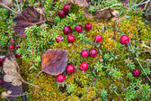 Cranberry growing in the swamp — Stock Photo