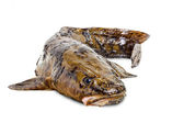 Burbot on a white background — Stock Photo