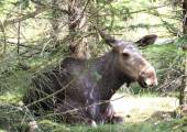 Moose cow laying in forest bed — Photo