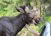 Moose petting from a car — Photo