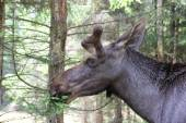 Male moose chewing on pine — Stockfoto