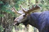 Moose male with large antler — Stockfoto