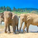 Elephants At Pinnawala Elephant Orphanage, Sri Lanka — Stock Photo #65534079
