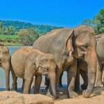 Elephants At Pinnawala Elephant Orphanage, Sri Lanka — Stock Photo #65534181