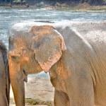 Elephants At Pinnawala Elephant Orphanage, Sri Lanka — Stock Photo #65534319