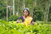 NUWARA ELIYA  SRI LANKA  APRIL 06 A Tamil woman from Sri Lanka breaks tea leaves on tea plantation with the traditional tea plucking method at labookellie, Sri Lanka on 06th April 2015 — Stock Photo