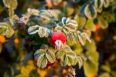Frozen berries and leaves of the rose at sunrise — Stock Photo