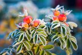 Frozen berries and leaves of the rose at sunrise — Stockfoto