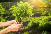 Fresh parsley in  woman hand — Stock Photo