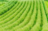 Plant rows, Toskana — Stock Photo