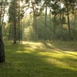 Sunny forest early in the morning — Stock Photo #65543925