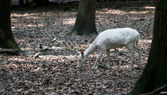 White red deer searching for the food in the forest — Stock Photo
