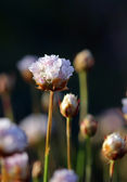 Thrift flowers growing under the sunset light — Stock Photo